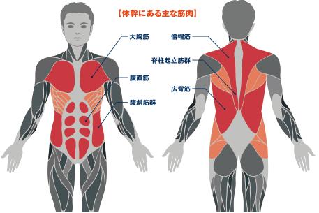 体幹にある主な筋肉